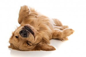 A cute golden retriever laying down comfortably on his back.