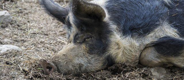 Loblied auf das faule Schwein